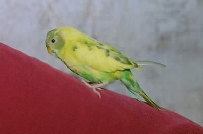 так выглядит заболевший попугайчик