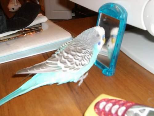 Как научить волнистого попугая разговаривать в домашних условиях - Как научить говорить волнистого попугая
