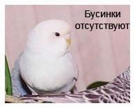 У этого попугайчика бусинок не будет никогда.