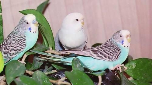 Слева на право: Мальчик (около 3х месяцев) / Белый попугай, похоже мальчик (от 2х до 3х месяцев) / И самочка (около 6 месяцев)