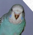 На клюве молоденького попугайчика имеется черный мазок.