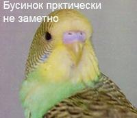 Практически незаметные бусинки у молодого попугайчика.