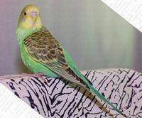 Молодой попугай с пока еще тусклым оперением.