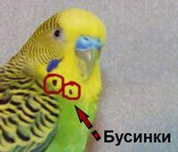 Явно выражены бусинки у взрослого попугайчика.